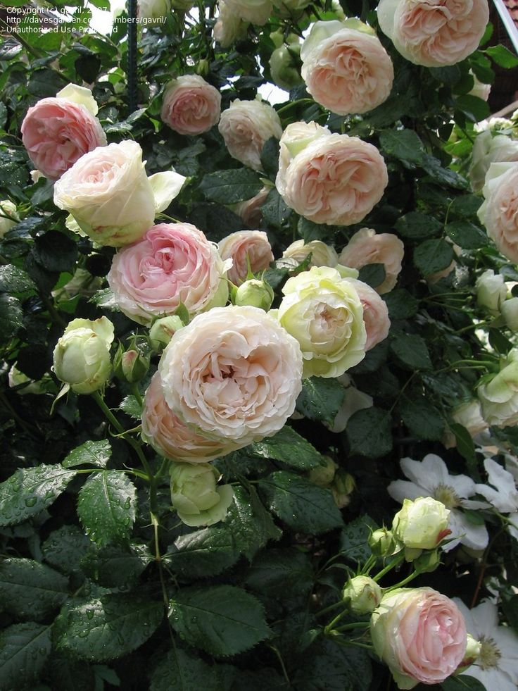 Full size picture of Large Flowered Climbing Rose 'Eden Climber' Must have!
