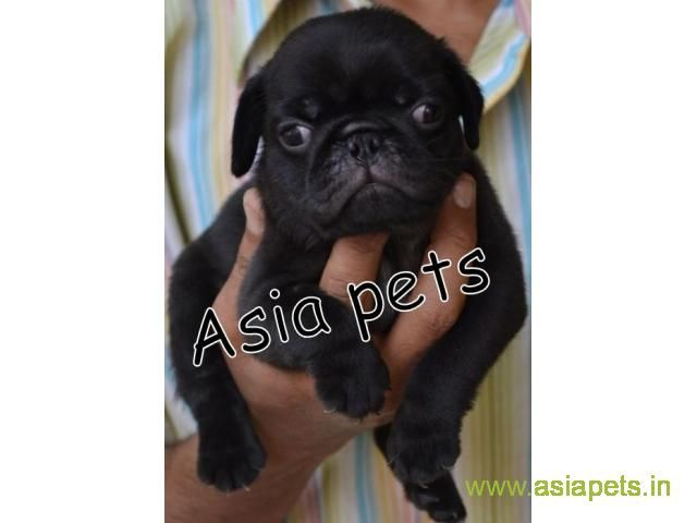Pug Puppy For Sale Good Price In Delhi Pug Puppies For Sale Pug