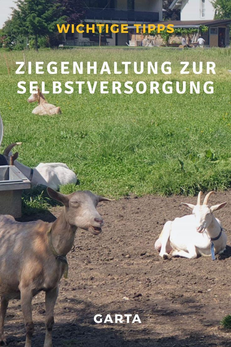 Ziegenhaltung Zur Selbstversorgung Tipps Ideen Und Erfahrungen Zur Ziegenzucht Ziegenhaltung Ziege Ziegenzucht