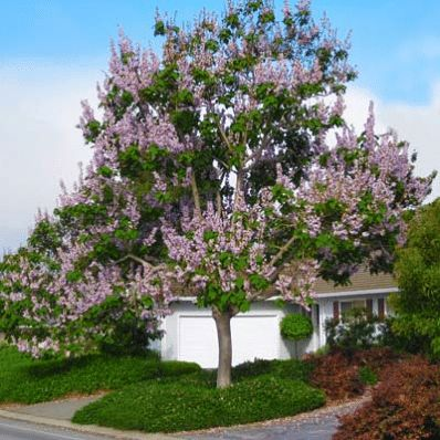 29 best plants of jamaica shade trees images on for Fast growing trees