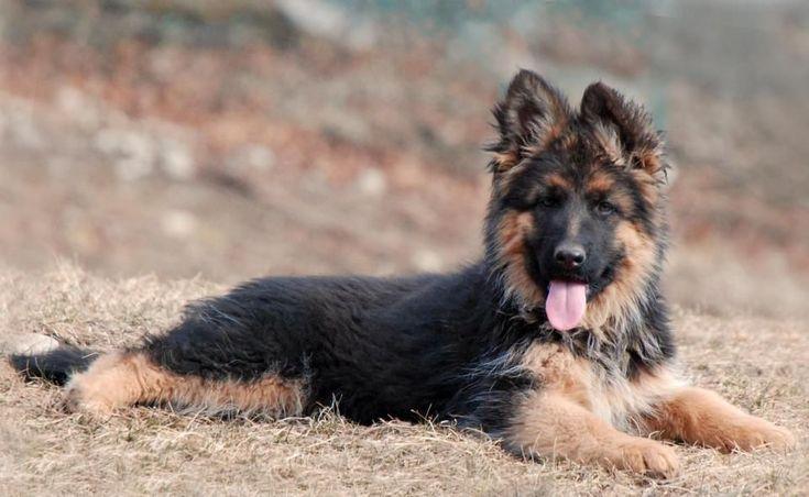 10 week old Long Coat German Shepherd puppy at Grunwald Haus