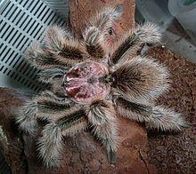 Chilean rose tarantula - Grammostola rosea - Wikipedia