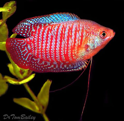 Your standard Dwarf Gourami.2 inch only 1 male in tank as get territorial