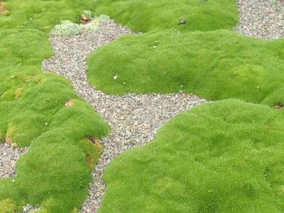 Scleranthus biflorus  Occurs naturally in coastal regions of the North Island of New Zealand. Unlike moss, it prefers full sun, and looses its tight habit if light levels are too low. Although reasonably drought tolerant, die back may occur when conditions are too dry.