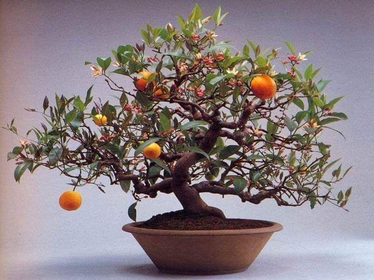 How To Grow A Bonsai Orange Tree | Grow A Bonsai Tree – Bonsai Trees
