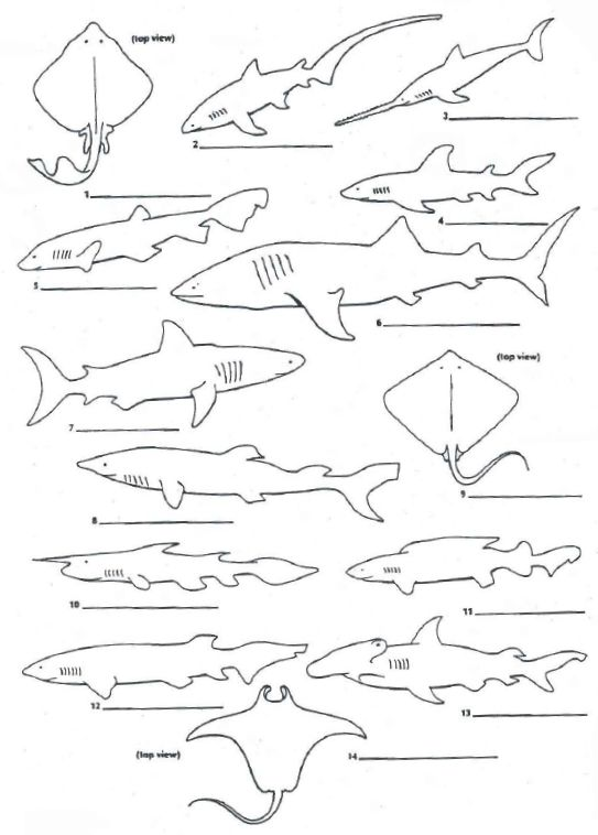 dichotomous key worksheet sharks dichotomous key worksheet zoology 2 swimming creatures. Black Bedroom Furniture Sets. Home Design Ideas