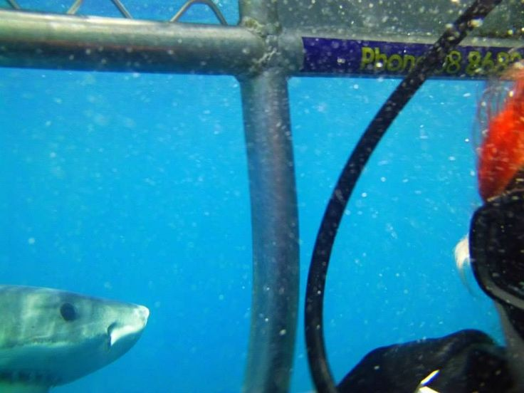 1 of 11 great whites of the day! Having a nosey at my bright orange hair..