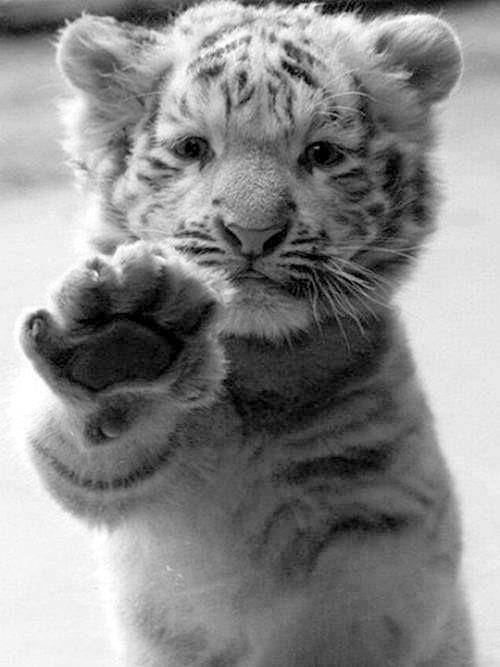 Baby tijger.