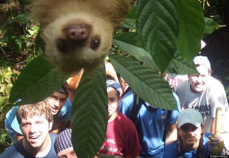 Baby Sloths make excellent photo-bombers!!!  How cute is this?
