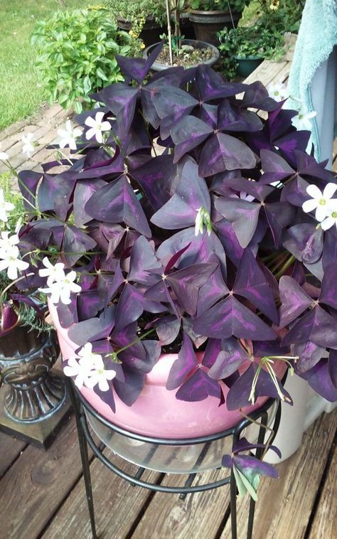 How to grow care for a Purple Shamrock Plant. https://www.houseplant411.com/askjudy/how-to-grow-a-shamrock-plant