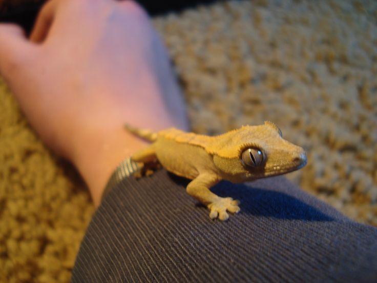 Teak the Eyelash Crested GeckoEyelash Crested Gecko