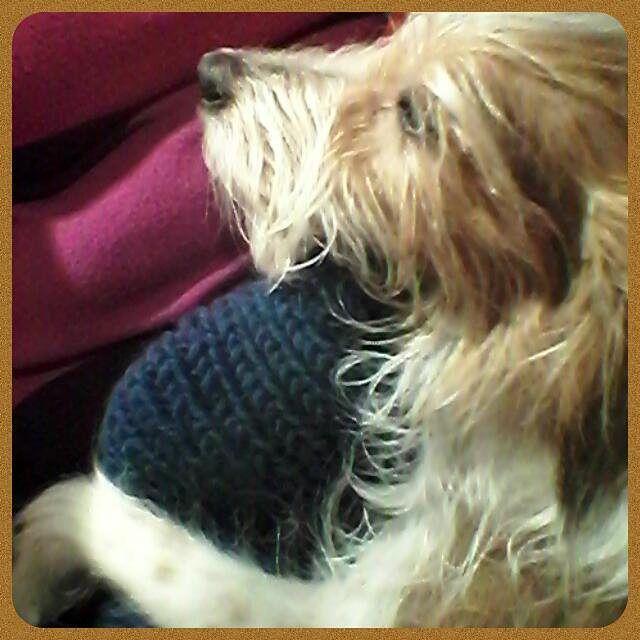 #Pumba #koira #dog #kromfohrländer #lemmikki #kromi #kromfohrlander    #hyvääyötä