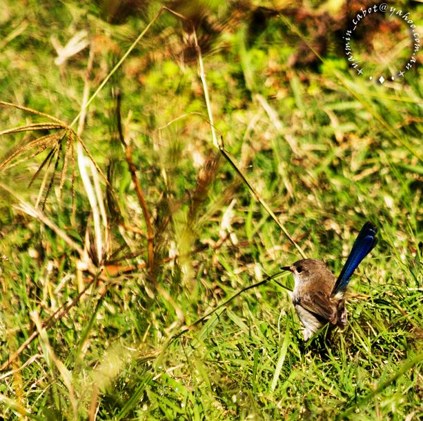 Superb Fairy Wren in the grass #Fairywren
