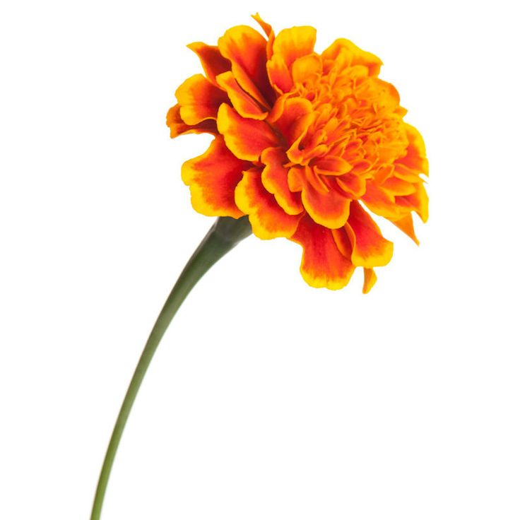 Marigolds are known to repel flies