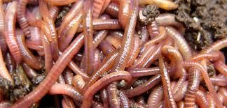 Image result for earth worm