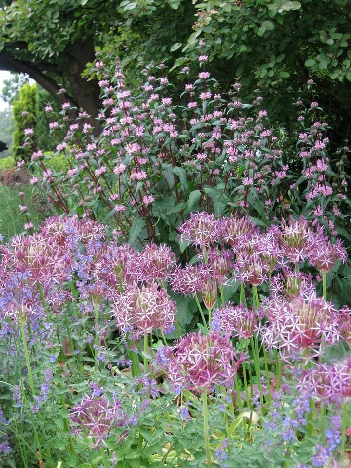 The Beth Chatto Gardens - Phlomis tuberosa 'Amazone', a superb vertical for the sunny garden, mingling with Allium cristophii.