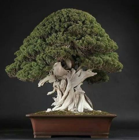 die besten 17 bilder zu bonsai auf pinterest kiefer b ume und bonsai. Black Bedroom Furniture Sets. Home Design Ideas
