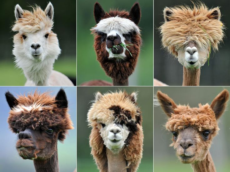 Alpacas after their annual shearing at Alpaca-Land farm, Goeming, near Salzburg  Photographs: Kerstin Joensson/AP: Haircuts, Flames, Animals, Hairstyles, Hair Styles, Funny, Alpacas, Funnies, Things