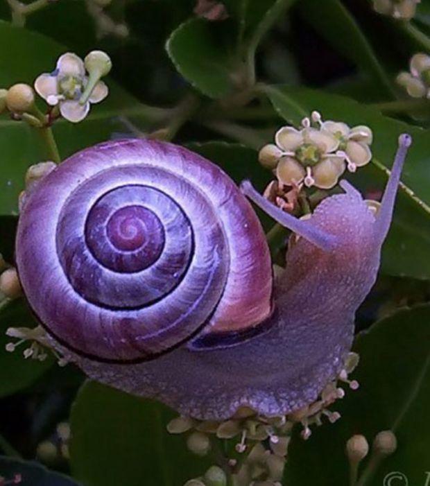 Même les escargots peuvent s'y mettre en matière de couleurs : la preuve avec ce spécimen tout violet