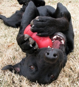 Happy dog playing with a kong!