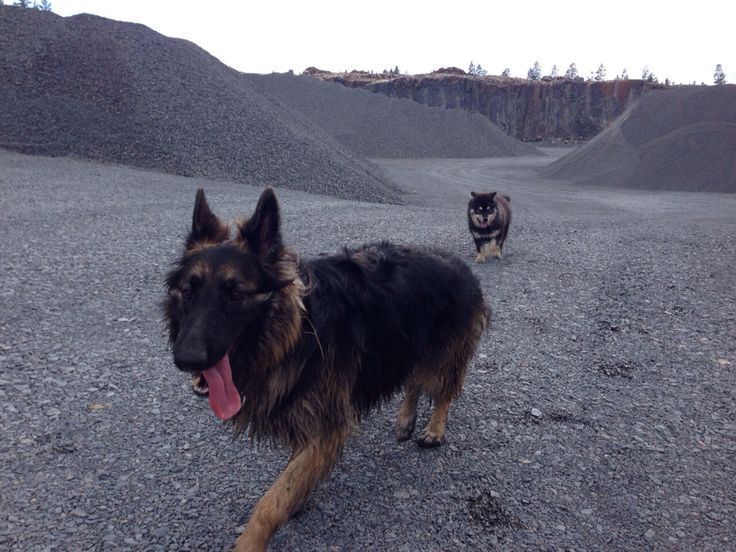 German shephard, 2 years, and Finnish lapphund, 6 months. Females.