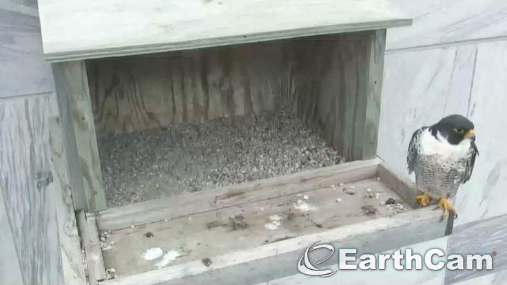 Check out Minnesota Falcon Cam in Rochester, United States. http://www.earthcam.com/usa/minnesota/rochester/falcon/