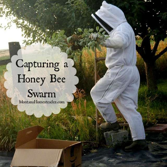 How to capture a honey bee swarm *I just helped a fellow beekeeper catch her swarm of honeybees a couple of weeks ago.*