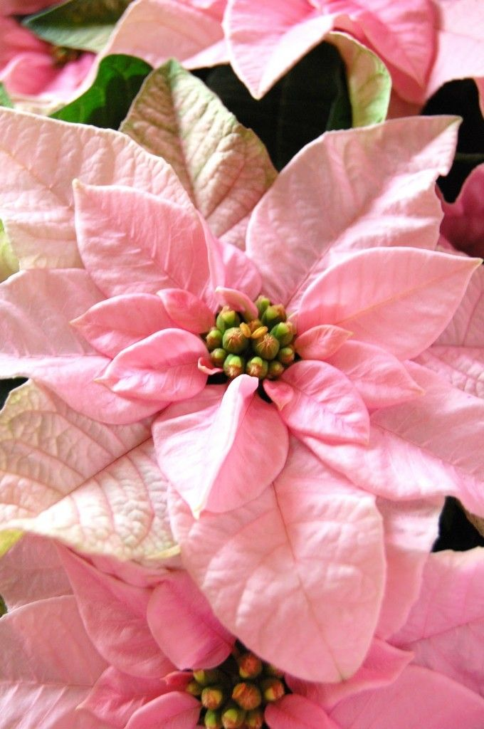 Pink Poinsettias - Winter Flowers | Coral, Blush Pink and Gold Winter Wedding Inspiration
