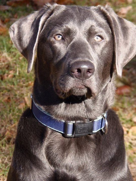 Grayson my growing charcoal lab....,