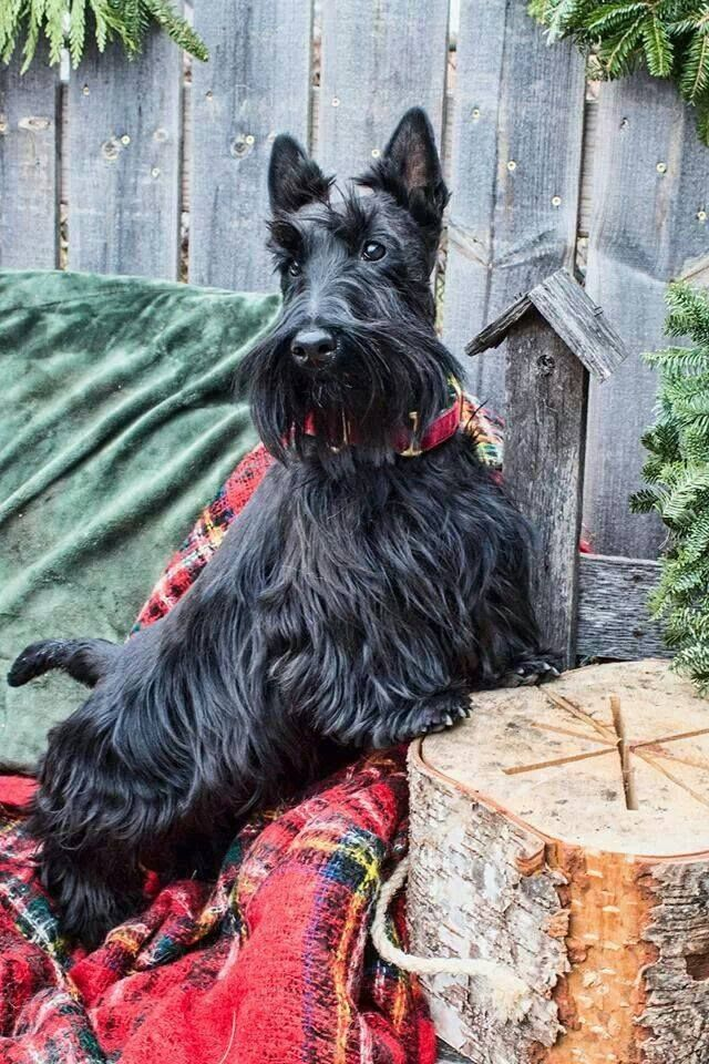 Beautiful Scottie! So is Scanner, the library dog  He