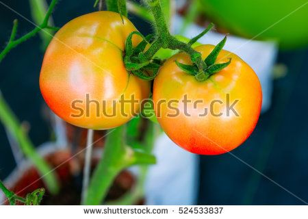 Ripe organic hydroponic tomatoes in tomato plants growing in a modern greenhouse farm