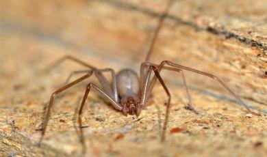 La peligrosa araña violinista que atemoriza los hogares de la CDMX