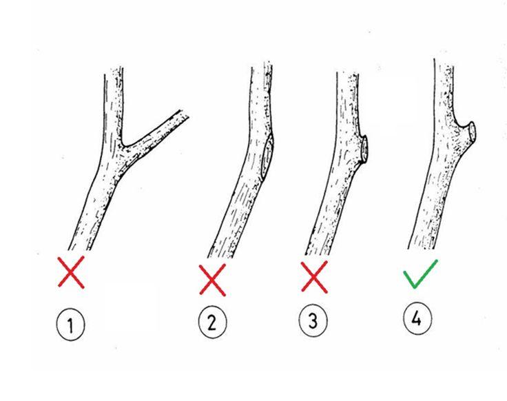 Ağaçların budama şekli