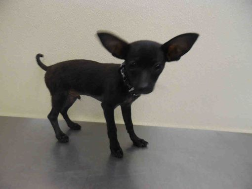 Fort Myers Fl Chihuahua Meet Batty A Pet For Adoption Pet