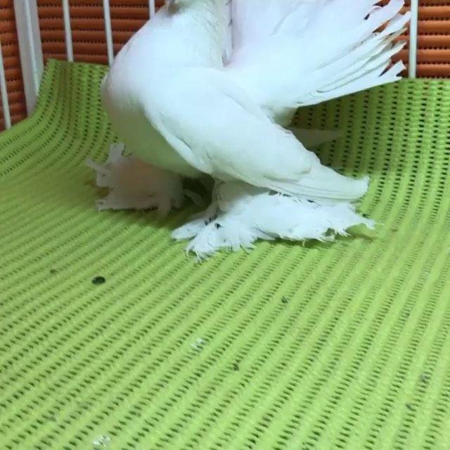 جاكوبين هومر فرل باك جعافر بلندونيت سنتونيت ارباش سكندرون بومنجل Scandaroon Pigeon Pigeons Mb معرض نفاخ لونق كارير سترايزر هلمت Bird