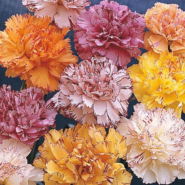 Dianthus caryophyllus 'Stripes & Picotees' - Perennial & Biennial Seeds - Thompson & Morgan