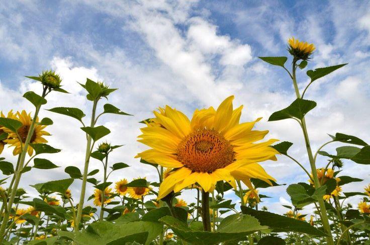 Sunflowers in Haute Provence, FR
