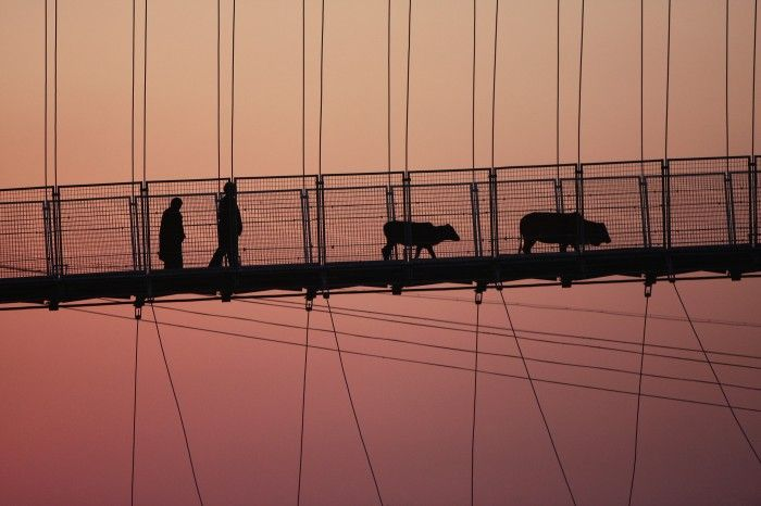 Rishikesh, India. Two farmers come back at home with their cows (on the Lakshman Jhula bridge, above the Gange river).