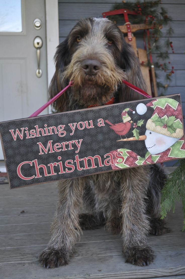 Image of italian spinone brown roan young puppy blue sitting cute - Larry The Christmas Spinone