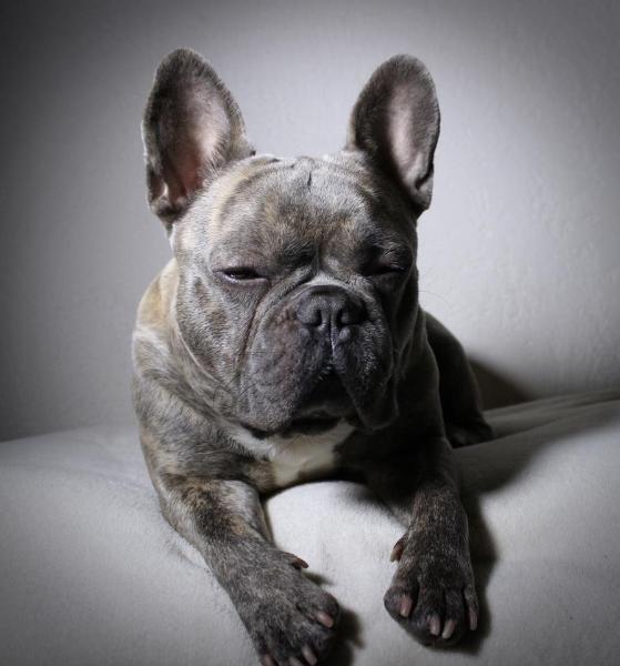 Französische Bulldogge  http://www.markt.de/Tiere/Hunde/Rassehunde/Franz%C3%B6sische+Bulldogge/categoryId,1202014400/suche.htm