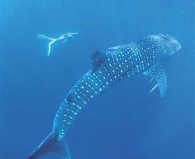 Visiting Ningaloo Marine Park to swim with the whale sharks is truly a bucket list wildlife experience.
