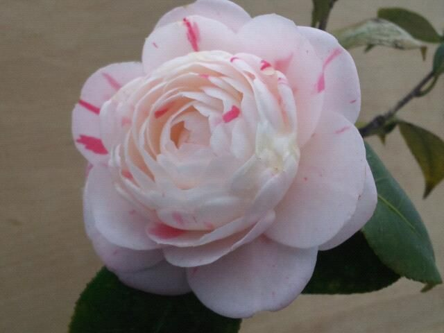 Camellia Forest Nursery - in Chapel Hill