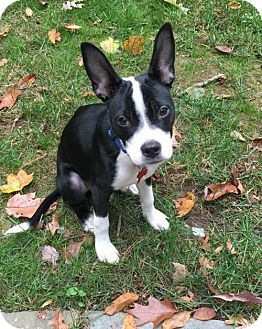 Jeux de boston terrier