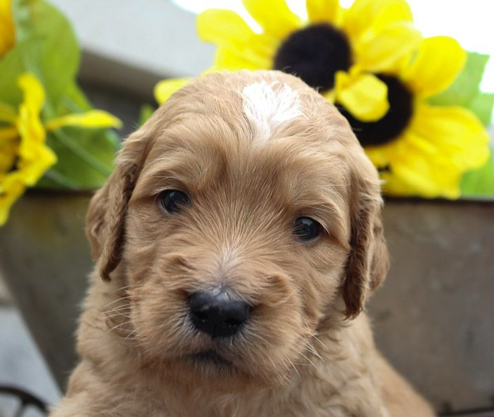 Goldendoodle For Sale In New Haven Indiana Goldendoodlepuppy Goldendoodlepuppies Goldendoodle Puppies Goldendoodle Puppy American Pitbull Puppies