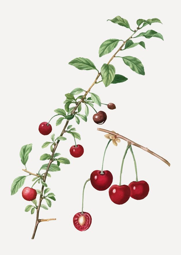 Download Cherry Tree Branch For Free Fruit Vector Cherry Blossom Painting Fruit Illustration