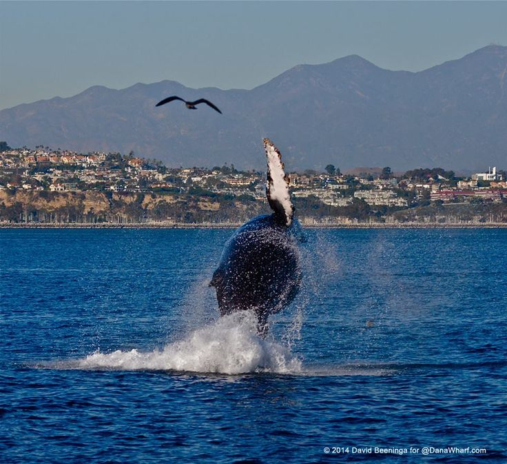 "Beautiful picture of ""Mr. October,"" a happy humpback whale who has been hanging around Dana Point Harbor for the last month and a half. He clearly loves it here! (Photo courtesy of Dana Point Whale Watching; link goes to their Facebook page.)"