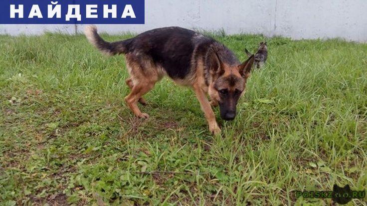Найдена собака сука немецкой овчарки г.Ногинск http://poiskzoo.ru/board/read31516.html  POISKZOO.RU/31516 .. найдена немецкая овчарка. МО, Ногинск. Примерный возраст - .., .. года. Окрас – чепрачный  РЕПОСТ! @POISKZOO2 #POISKZOO.RU #Найдена #собака #Найдена_собака #НайденаСобака #Ногинск