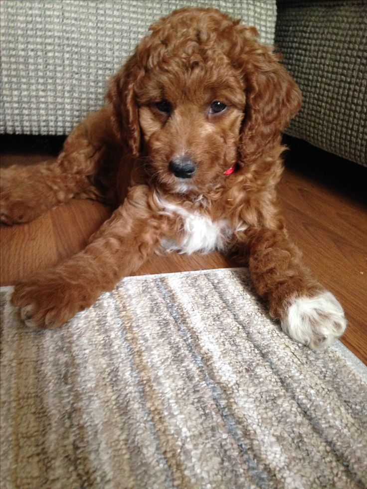 Eight week old mini goldendoodle Addy