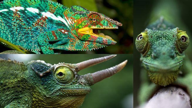 Es el rey del camuflaje, aunque dependiendo de su especie (hay más de 160 tipos) varían mucho de tamaño y de colores. Tienen una lengua rápida y alargada que utilizan para cazar insectos, y sus ojos pueden moverse independientemente