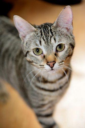 Mulan, gatita pardita guapa y juguetona nacida en Mayo´15 esterilizada, en adopción. Valencia.